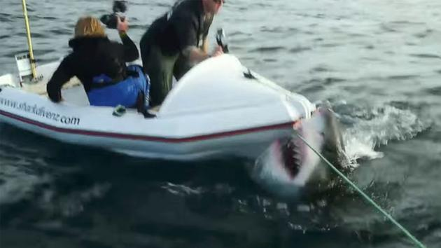 GREAT WHITE SHARK ATTACKS FILM CREW WHILE FILMING LAIR OF THE MEGASHARK