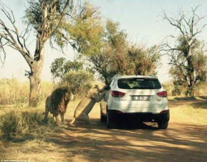 An 22- Year Old  American Katherine Chappell Pulled From Car By Lion In South Africa Park & Mauled To Death