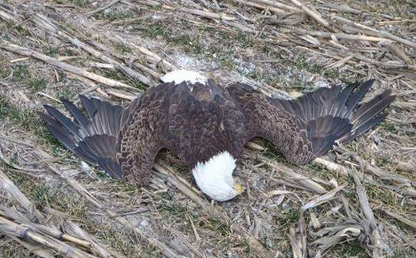Kansas: Game Warden Looking For Suspect That Shot & Killed A Bald Eagle Which Is An Endangered Species