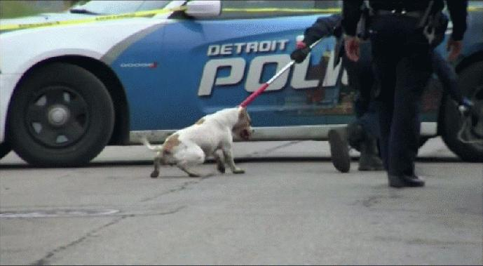 pitbull mauls 4yr old in detroit
