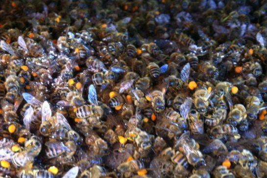 Over 37 Million Bees found Dead After Corn Field Treated With Neonicotinoid Pesticide