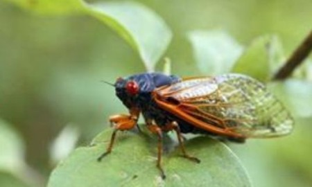 17- Year Hiatus Is Over The Cicadas Are Coming As Many As 1.5 Million Per Acre