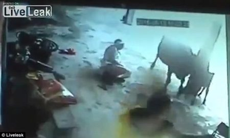Warning Graphic: Cow Attacks Men Attempting To Stab Girl To Death In Honor Killing [Video]