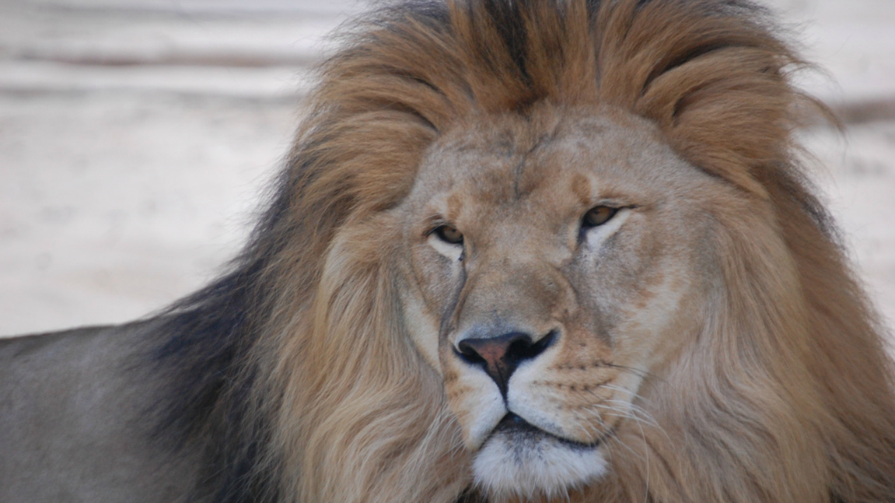 Lions Killed By Zookeepers In Chile Zoo After Eating A Man Wh Entered The Lions Den Naked