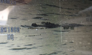 Large Alligator In Florida Was Seen With A Human Body In Its Mouth