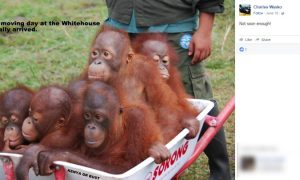 "Pennsylvania Mayor Urged To Resign After Posting Picture of Apes In A Wheelbarrow Captioned ""Aww...Moving Day At The Whitehouse"